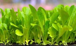 Grüner Kopfsalatsämling. Nahrung und Gemüse Stockfoto