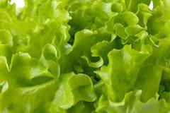 Grüner Kopfsalatsalat der Frische lizenzfreies stockfoto