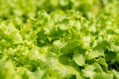 Grüner korallenroter Kopfsalat Stockfotografie