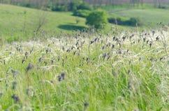 Grüner Kräuterhintergrund der Wiese mit Federgras Lizenzfreies Stockfoto