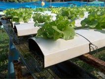 Grüner Lattich im Wasserkulturbauernhof. Lizenzfreies Stockfoto