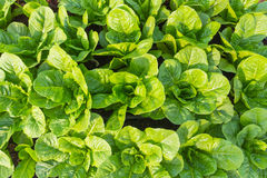 Grüner Lattich-Salat Lizenzfreie Stockfotos