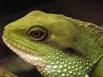 Grüner Leguan Lizenzfreie Stockbilder