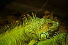 Grüner Leguan Stockfoto