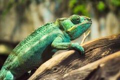 Grüner Leguan Stockfotografie