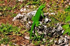 Grüner Leguan abgefangen, das Mittagessen essend stockfoto