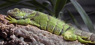 Grüner Leguan auf der Niederlassung Stockfotografie