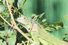 Grüner Leguan auf einem Baumast Lizenzfreie Stockfotografie