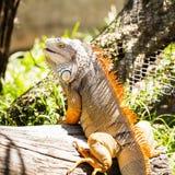 Grüner Leguan auf Holz Stockbild