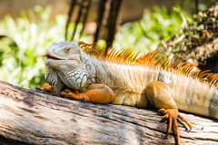 Grüner Leguan auf Holz Stockfotografie