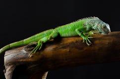 Grüner Leguan auf Niederlassung lizenzfreies stockbild