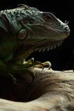 Grüner Leguan auf Niederlassung Stockbild