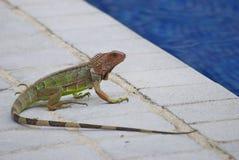 Grüner Leguan betriebsbereit zu einem Bad im Pool lizenzfreies stockbild