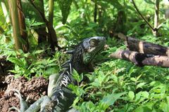 Grüner Leguan in den Büschen Lizenzfreie Stockbilder