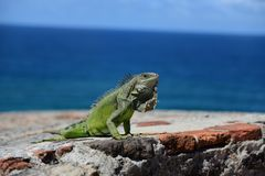 Grüner Leguan in den Karibischen Meeren lizenzfreie stockfotografie