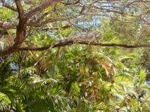 Grüner Leguan, der auf Niederlassung sich aalt Stockfotografie