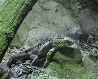Grüner Leguan in der Dunkelheit stockfotos
