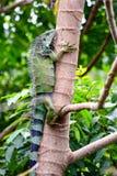 Grüner Leguan, der einen Baum klettert stockfotografie