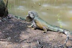 Grüner Leguan im natürlichen habitad lizenzfreie stockfotos