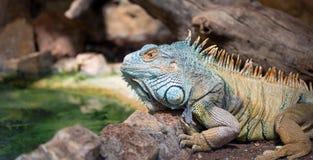 Grüner Leguan (Leguanleguan) Stockbild