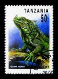 Grüner Leguan (Leguanleguan), Reptilien von Tansania-serie, circa Stockbild