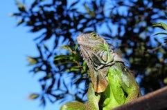 Grüner Leguan mit blauem Hintergrund Stockfotografie