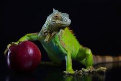 Grüner Leguan mit einem roten Apfel Stockfotos
