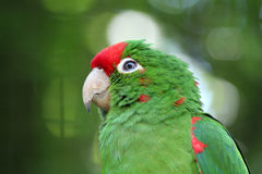 Grüner Liebesvogel Lizenzfreies Stockbild