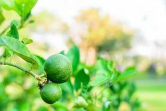 Grüner Limettenbaum Stockfoto