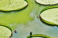Grüner Lotos Stockfoto