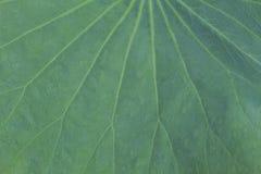 Grüner Lotosblatt-Beschaffenheitshintergrund Lizenzfreie Stockfotografie