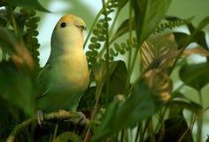 Grüner Lovebird im Laub lizenzfreie stockbilder