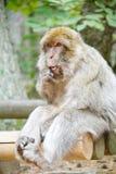 Grüner Macaquefallhammer mit human-like Ausdruck Lizenzfreies Stockbild