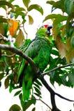 Grüner Macaw-Papagei Stockbild