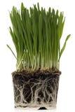 Grüner Mais Lizenzfreie Stockfotos