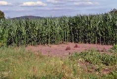 Grüner Mais Stockfoto