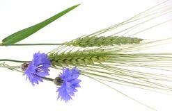 Grüner Mais und Cornflowers Stockbild