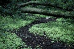 Grüner majestätischer Waldweg des Klees Stockbild