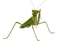 Grüner Mantis getrennt auf weißem Hintergrund Stockfotos