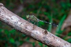Grüner Marsh Hawk Dragonfly stockbilder