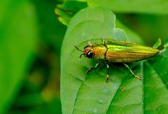 Grüner metallischer Holzbohrenkäferaufenthalt auf Blatt während der Tageszeit im Wald mit grünem Hintergrund lizenzfreies stockbild