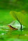Grüner mit Beinen versehener Frosch Stockfoto