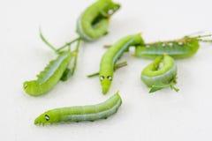 Grüner molliger Wurm Stockfotografie