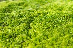 Grüner Moosabschluß oben Stockfoto