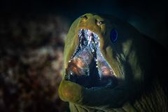 Grüner Moray Eel Close-Up stockfotos
