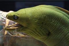 Grüner Moray Eel und Garnele Stockbild