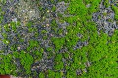 Grüner MOS auf Steinhintergrund Stockbild