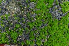 Grüner MOS auf Steinhintergrund Lizenzfreies Stockfoto