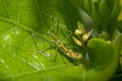 Grüner Moskito, der auf einem Blatt camouflating ist Stockfotos