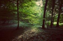 Grüner mysteriöser Sommerwald bei Sonnenuntergang Lizenzfreies Stockbild